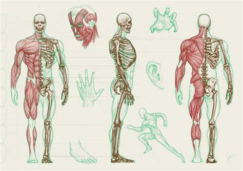 Human Anatomy human anatomy wallpaper wallpapersafari