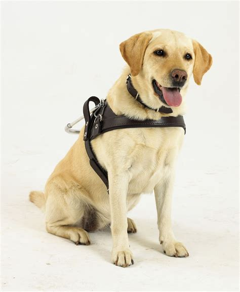 dogs walkthrough south guide dogs association for the blind our chosen charity for 2014