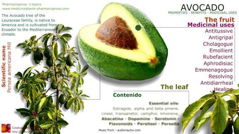 avocado tree from seed fruit avocado benefits avocado tree fruit seed leaves and
