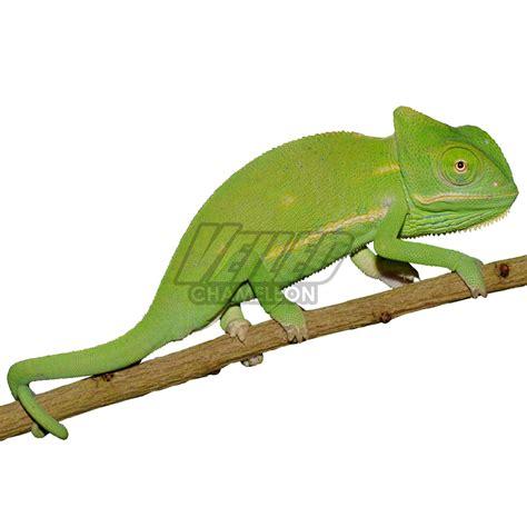 male baby veiled chameleon