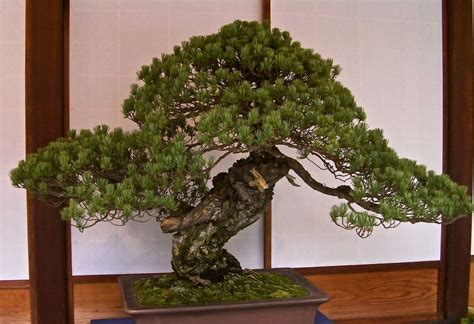 old bonsai tree bonsai
