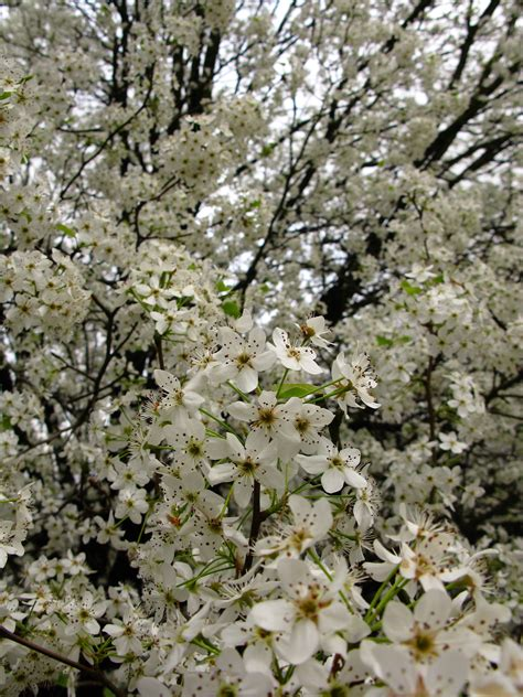 file white flowers spring pear tree west virginia