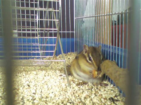 gabbia per scoiattoli giapponesi pin il mio scoiattolo on