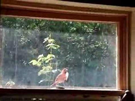 bird hits window youtube