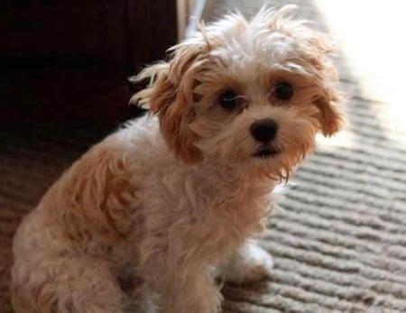 cavachon shih tzu mix 36 best shih tzu cross dogs images on bichon frise puppies and puppys