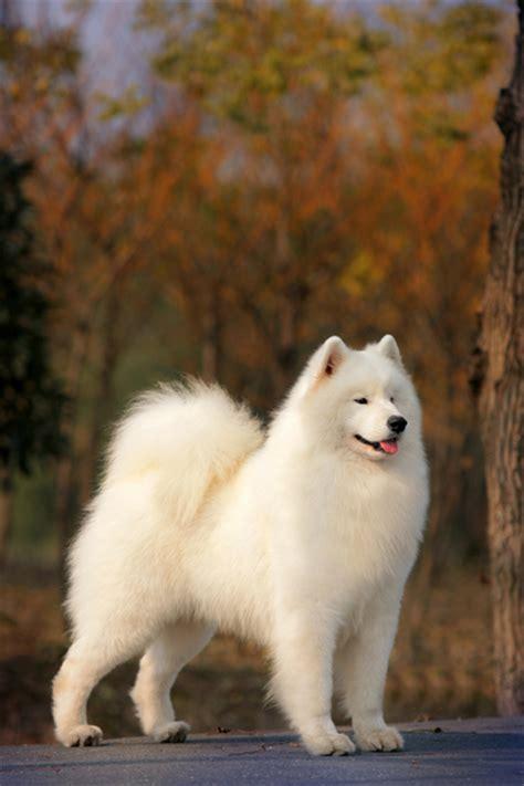 samoyed breed samoyed5 jpg samoyed breeds