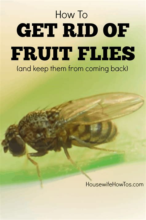 kill house flies how to kill fruit flies and prevent them