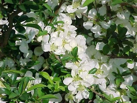 shrub with white flowers identification best shrubs