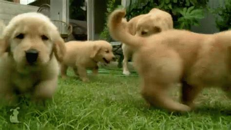 golden retriever puppy gif puppy gif puppy goldenretriever discover gifs