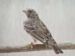 Burung Mozambik Sepasang gambar jitu ternak burung cockatiel cuit setelah semuanya