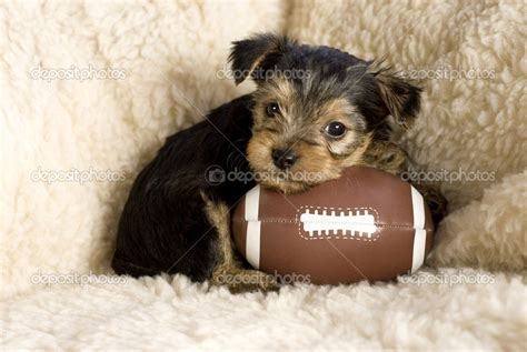 is yorkie and terrier the same terrier wallpapers hd