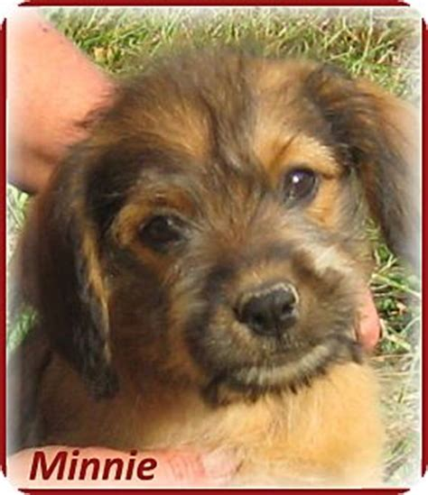 yorkie aussie mix marlborough ma yorkie terrier australian shepherd mix meet minnie a