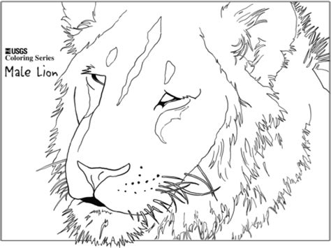 male lion coloring pages adult coloring pages lion head coloring page of lion head