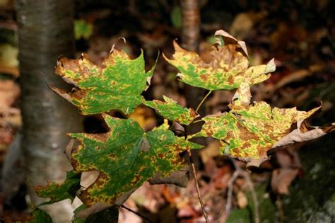 maple tree wilting leaves maple tree diseases lovetoknow