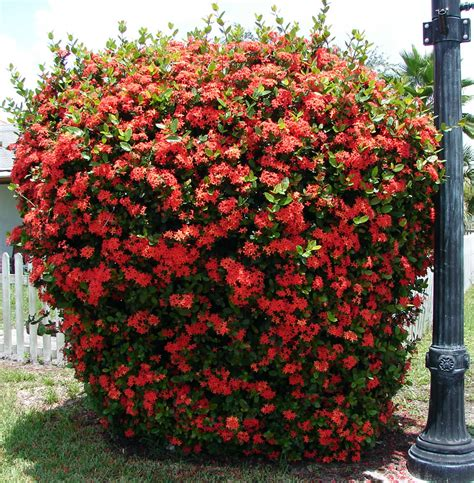 Garden Bushes With Flowers Plants Flowers 187 Ixora Coccinea