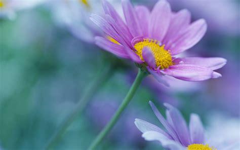 wallpaper purple daisies hd flowers