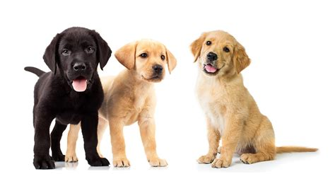 labrador or golden retriever best family dogs golden retriever vs labrador retriever the best family pet showdown