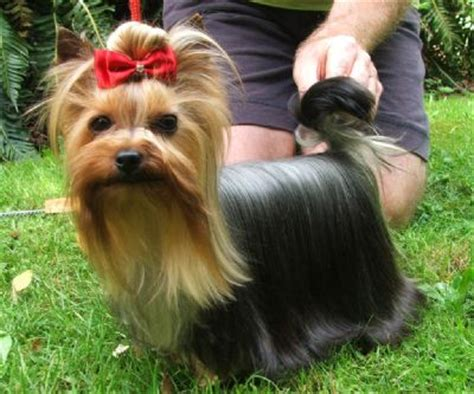 show me pictures of yorkie puppies terrier breed information photos doglers