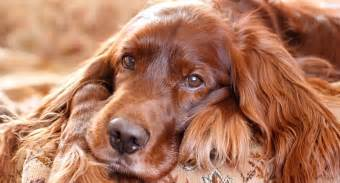 irish setter dog poisoned owners claim prize winning irish setter was poisoned at