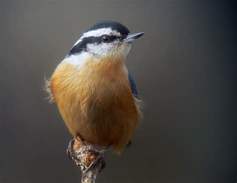 red breasted nuthatch photo birds of colorado photos at
