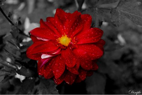 photos of colombia flowers dahlia top 10 most beautiful flowers listcrux