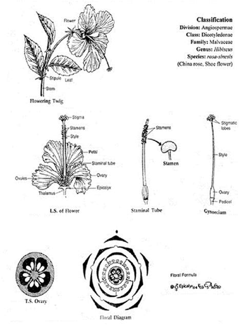 floral diagram of hibiscus image gallery malvaceae characteristics