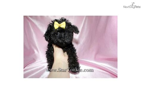 yorkie poo puppies for sale in los angeles ca yorkie poo for sale los angeles breeds picture