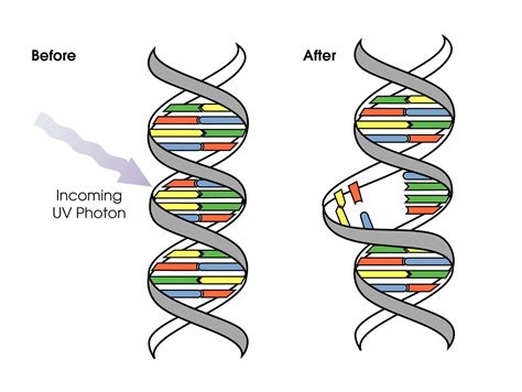 Uv Light Damages Dna By Causing by Nasa Uv Exposure Has Increased The Last 30 Years