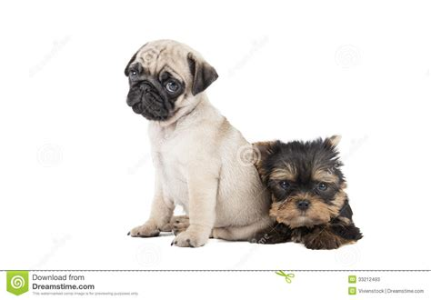 pugs and yorkies two puppy pug and terrier stock image image