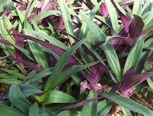 Grey Foliage Plants Australia - rhoeo dwarf moses in the cradle online plant nursery