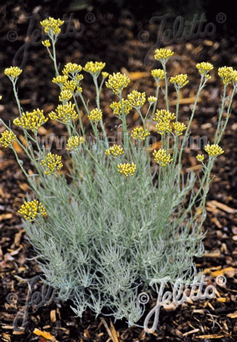 Italian Mix Herbs 50 Gram jelitto perennial seed helichrysum italicum portion s