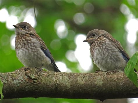 baby bluebirds backyard bird nerd