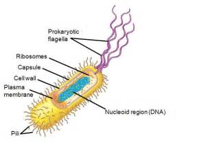 Cells have a small simple structure compared to eukaryotic cells