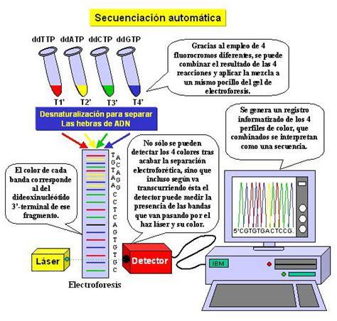 cuantas cadenas de adn tiene el humano opiniones de secuenciacion de adn