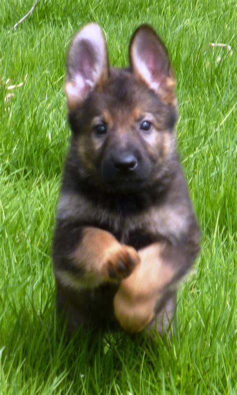 puppy k9 k 9 german shepherds dogs www imgkid the image kid has it