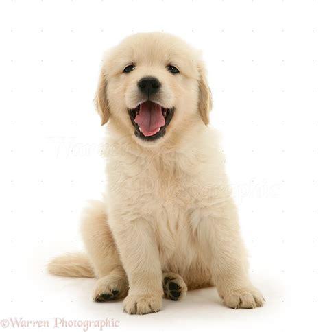 Puppy Golden Retriever golden retriever puppy sitting photo wp21555