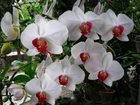 Bibit Kantil Cempaka Merah Ungu Langka 123 gambar bunga dan macam macam jenis indah langka