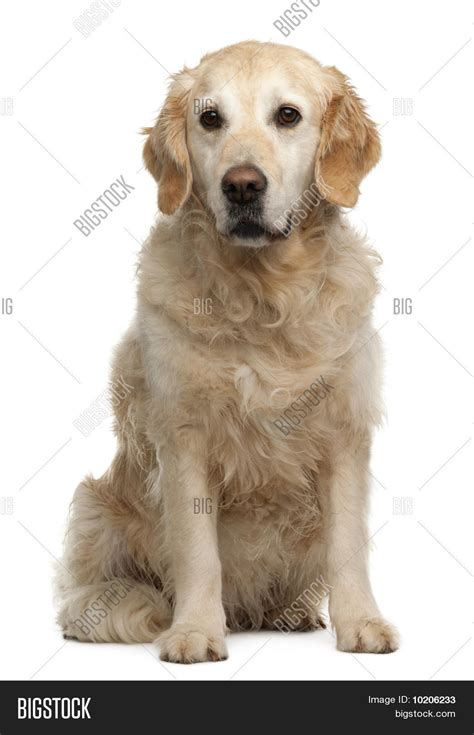 6 year golden retriever golden retriever 6 years sitting in front of white background stock photo