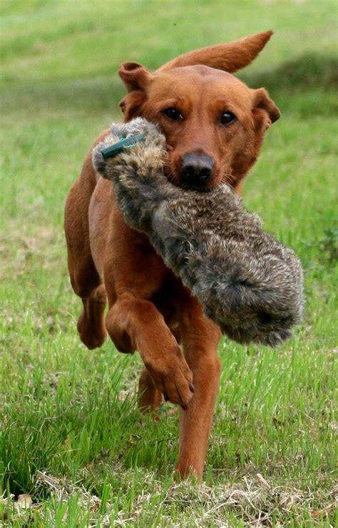 fox golden retriever fox lab retriever puppies www pixshark images