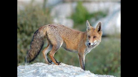 imagenes de zorros tristes sonido del zorro the fox sound sonidos cortos de animales