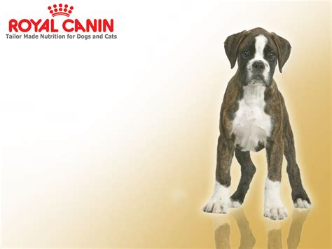 royal canin boxer puppy royal canin boxer junior puppy food