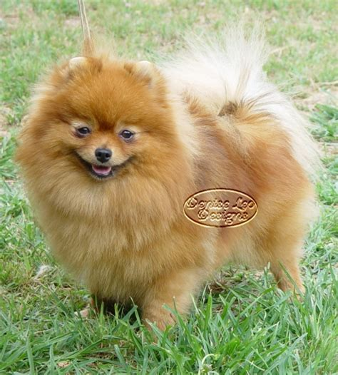 pomeranian exercise exercise for pomeranians pomeranian facts care pictures