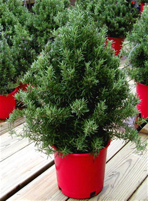 28 best plantable christmas trees diy plant your