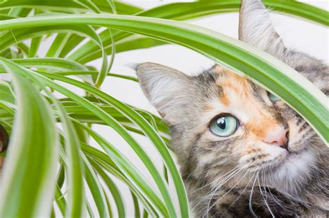 Spider L Spider Plant Toxicity Will Spider Plants Hurt Cats