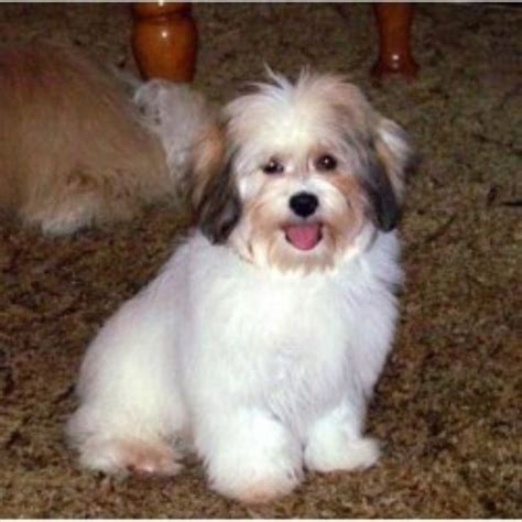 havanese puppies kansas havanese breeders in kansas freedoglistings