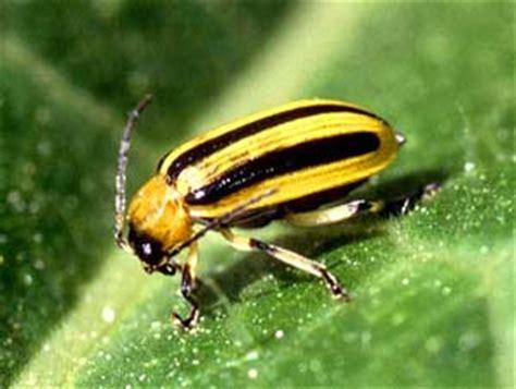 pest library garden org - Yellow Black Beetle Garden Pest