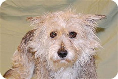 fox terrier yorkie mix bama adopted ky ky yorkie terrier wirehaired fox