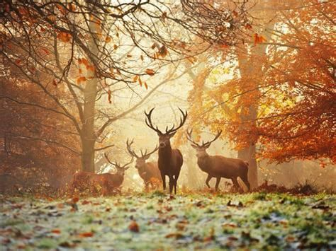 four red deer in the autumn forest print by alex saberi
