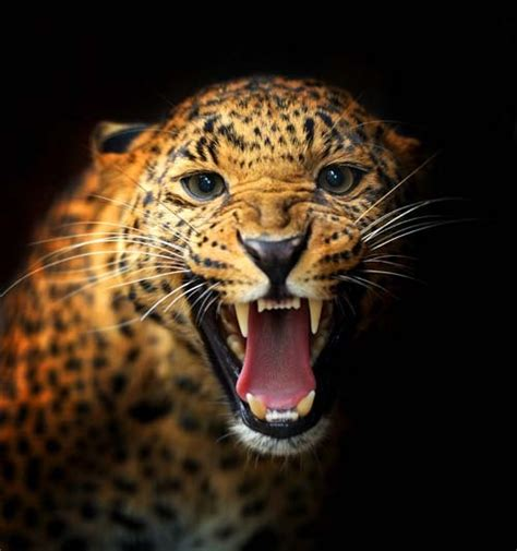 pin by barbara wainscott on animals big cats