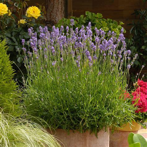 lavandula angustifolia munstead english lavender